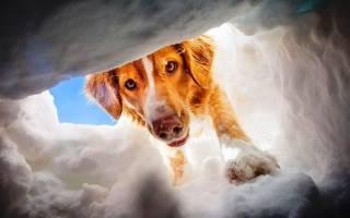 Какой породы собаки-спасатели в горах