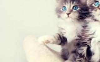 Сонник – маленький котенок