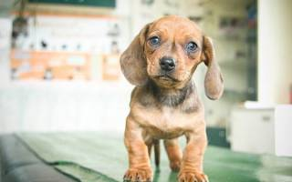 Неправильный прикус у щенка: виды, причины и способы исправления