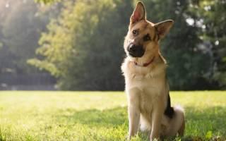 Почему собака ездит на попе