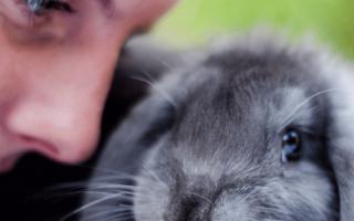 Голубые кролики: кролик голубой баран