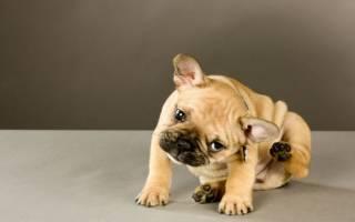 Импетиго у собак: суть заболевания и методы лечения