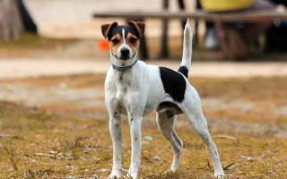 Парапроктит у собак: симптомы, диагностика и терапия