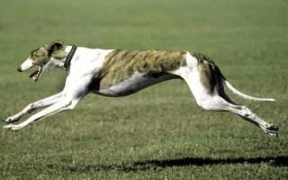 Самая быстрая порода собак