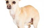 Почему собака поджимает хвост: правильно истолковываем своего питомца