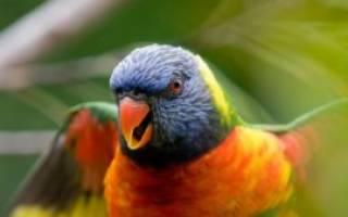 Потомство волнистых попугаев: развитие и родительский уход