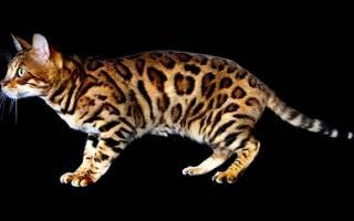Сколько живут бенгальские кошки в домашних условиях