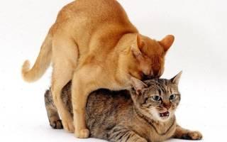 Как понять, что кошка готова к вязке: признаки и симптомы