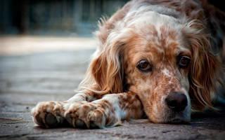 Как научить командам взрослую собаку