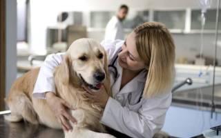 Стерилизация собак: уход после операции