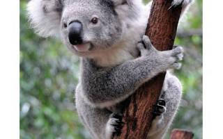 Продолжительность жизини у коал