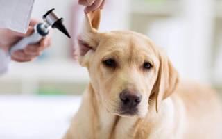 Отомикоз или грибковый отит у собак: причины, симптомы, лечение
