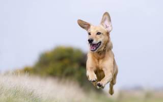 Бонхарен для собак