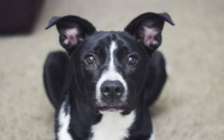 Как лечить геморрой у собак