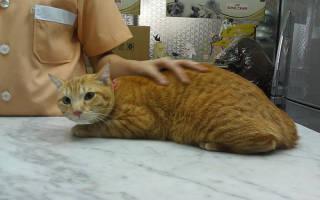 Кастрация кота: как происходит, что делать до и после операции