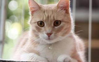 Отек легких у кошек: причины, симптомы и лечение