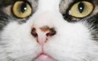 Токсикоз у кошек — симптомы и причины деликатного состяния