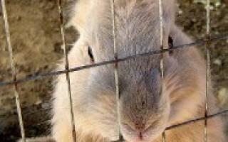 Кролики в деревне: особенности разведения