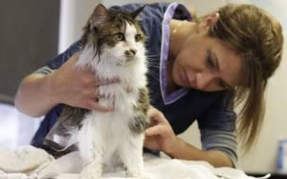 Себорейный дерматит у кошек: причины, диагностика, лечение