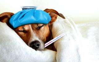 Простуда у собаки: симптомы и лечение