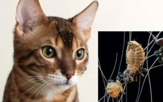 Как лечить власоеды у кошек