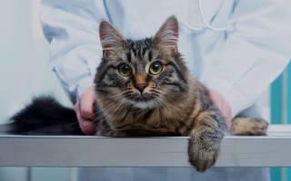 Сердечный приступ у кошки: причины и симптомы