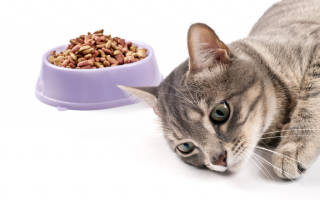 Гастрит у кошек и котов