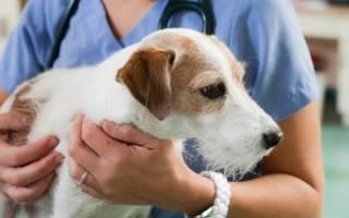 Кесарево сечение у собак — всё что нужно знать об операции