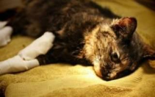 Остеомиелит у кошек — тяжёлое заболевание