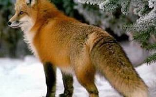Когда появляется потомство лисы