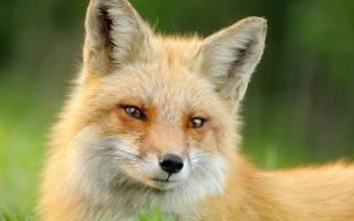 Как живет белый лис