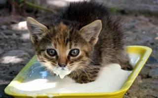 Правильное кормление котят от рождения до шести месяцев