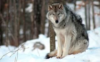 Описание серого волка