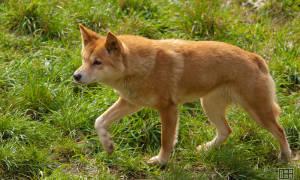 Когда появляются щенки у австралийской собаки динго