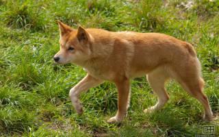 Собака динго из Австралии