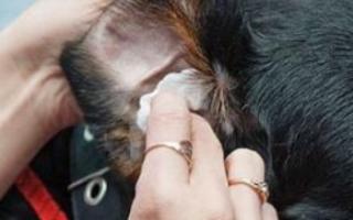 У собаки кровоточат кончики ушей: причины и первая помощь
