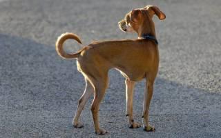 Дистрофия у собак: разбираемся в видах и причинах недуга