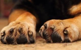 Почему собака грызет когти: причины психологические и физические