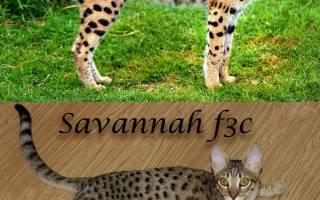 Известные питомники кошек породы саванна