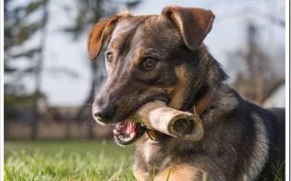 Что делать, если у собаки застряла кость в горле, зубах или кишечнике. Можно ли помочь самостоятельно?