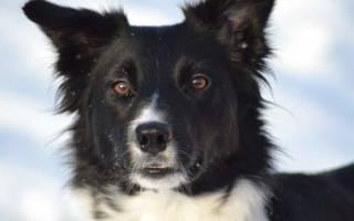 Ячмень у собаки на глазу: причины и способы лечения