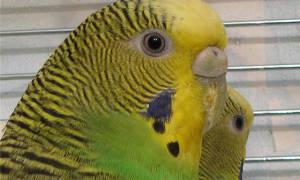 Треснул клюв у попугая