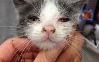 Как вылечить насморк у кошки