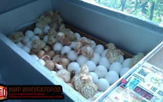 Разведение индюков в домашних условиях в Беларуси