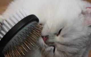 Как выбрать расческу для шотланских кошек