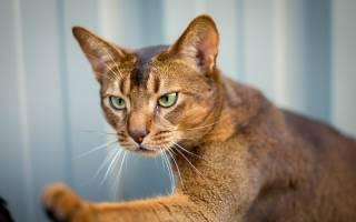 Бурсит у кошек: диагностика и лечение воспалений суставов