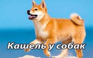 Вольерный кашель у собак: общие сведения, диагностика, профилактика