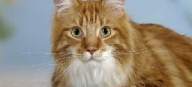 Будет ли кот после кастрации снова метить?
