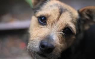 Некроз у собаки — крайне тяжёлое заболевание