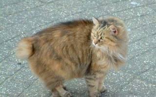 Гибридная порода кошек без хвоста